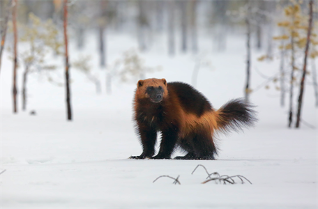 High-resolution snow projections developed to inform wolverine conservation