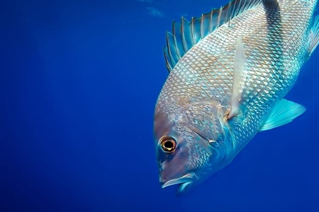 NOAA Sea Grant facilitates external research to determine abundance of red snapper