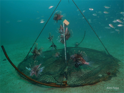 NOAA awarded U.S. patent for innovative lionfish trap