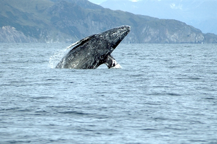 Listening to gray whales