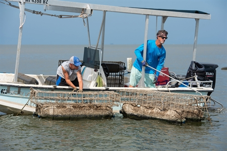 Restoring oysters