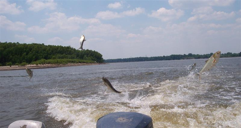 Study: Asian carp could cause some Lake Erie fish to decline, others to increase