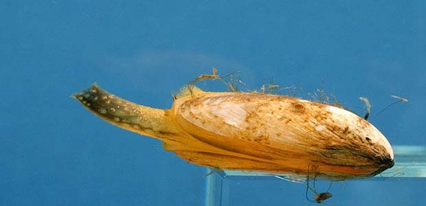 Small Mussels with Big Effects: Invasive Quagga Mussels Eat Away at Great Lakes Food Web