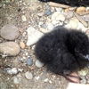 Black guillemot chick