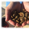 Ocean Acidification Research on Clams