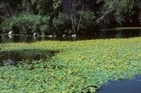 The aquatic plant, yellow floating heart