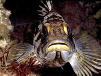 A gopher rockfish, one of many rockfish species included in the West Coast groundfish fishery.
