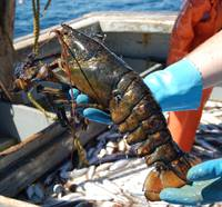 Lobster Development and Ocean Acidification